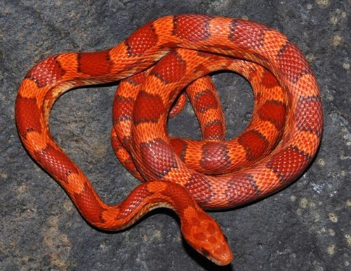 lava corn snake - photo #14