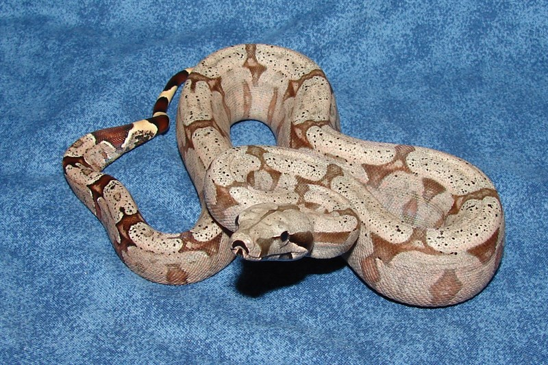 For Sale 2017 Bolivian Boa Constrictors - FaunaClassifieds
