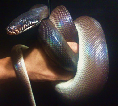 iHerp Answers: White Lipped Python aggression?