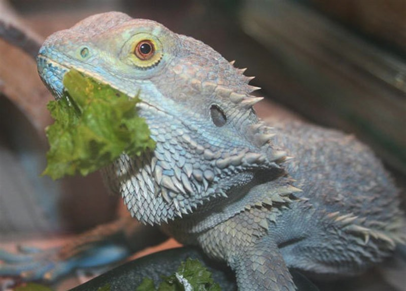 Question About A Rescue Beardie Bearded Dragon Org