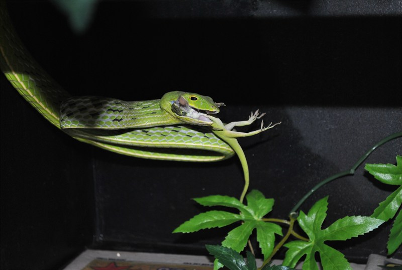 Green Vine Snake Eating Vine Snake Eat