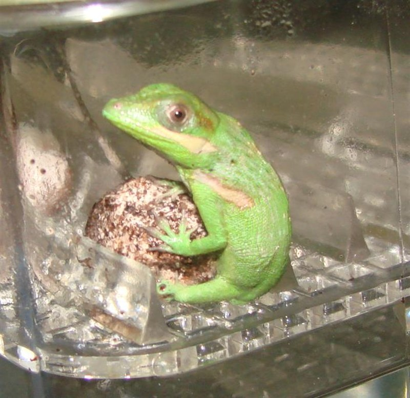 Baby Anoles Food