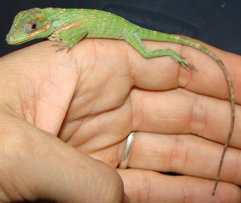 Baby Knight Anole