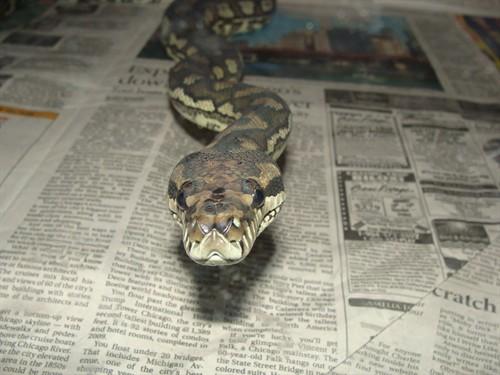 Pythons For Sale | Python For Sale | Pythons | Python
