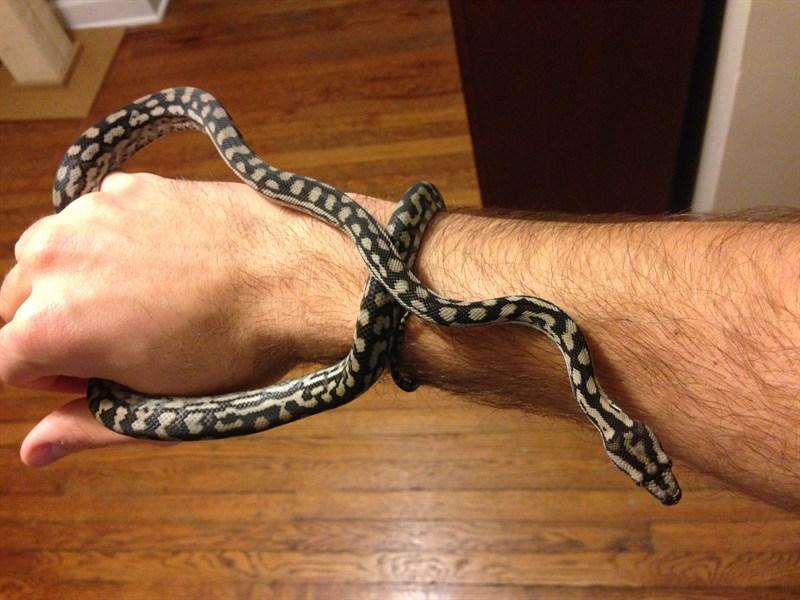 How Big Do Inland Carpet Pythons Grow Carpet Vidalondon