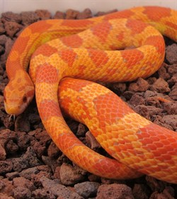 lava corn snake - photo #22