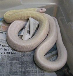 iHerp : gofer : Albino Whitesided Patternless Bull (Bull ...