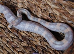 Orchid Corn Snake - More info